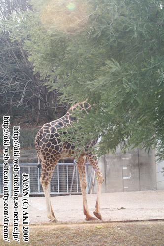Giraffa camelopardalis reticulata001.jpg