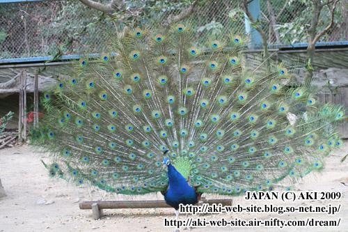 Indian Peafowl_Pavo cristatus019.jpg