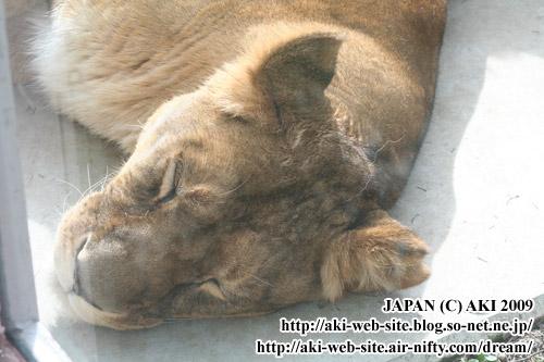 Lion_Panthera leo ssp.003.jpg