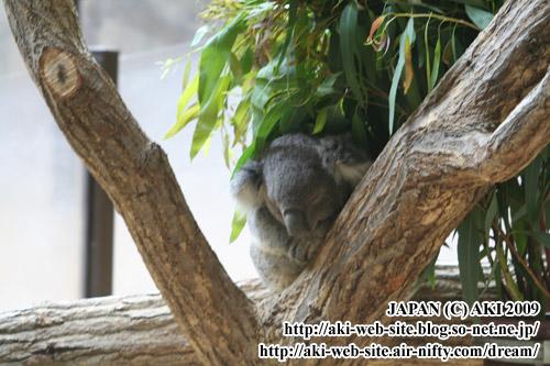 koala_phascolarctos cinereus001.jpg